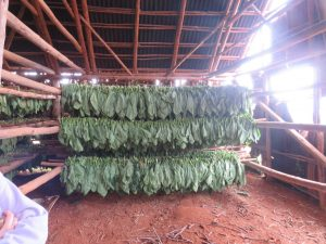 Tobacco, stored in a hut to dry for six months.