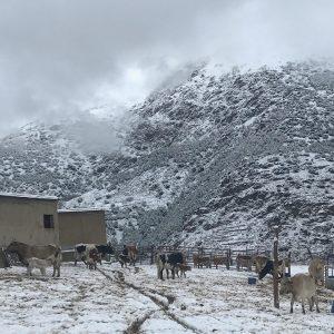 Vacas en la nieve