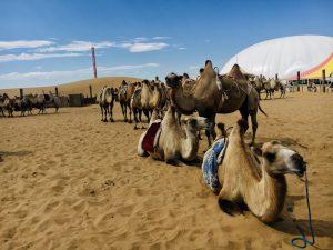 Camels at Xiangshawan